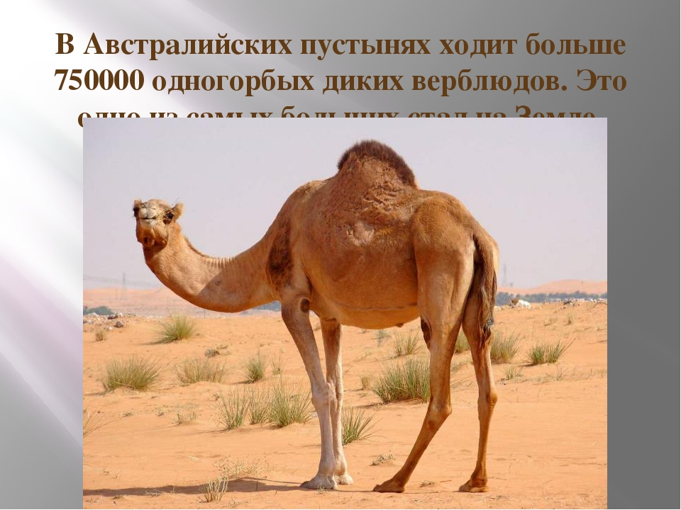 В Австралийских пустынях ходит больше 750000 одногорбых диких верблюдов. Это...