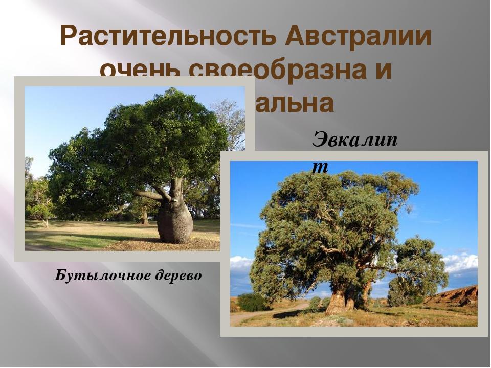 Растительность Австралии очень своеобразна и оригинальна Бутылочное дерево Эв...