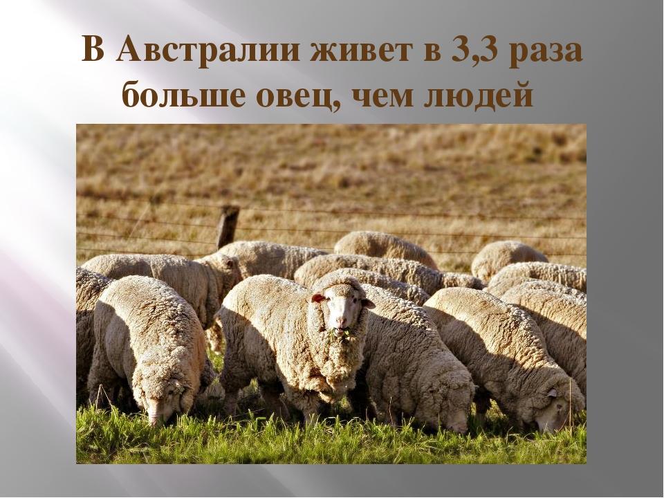 В Австралии живет в 3,3 раза больше овец, чем людей