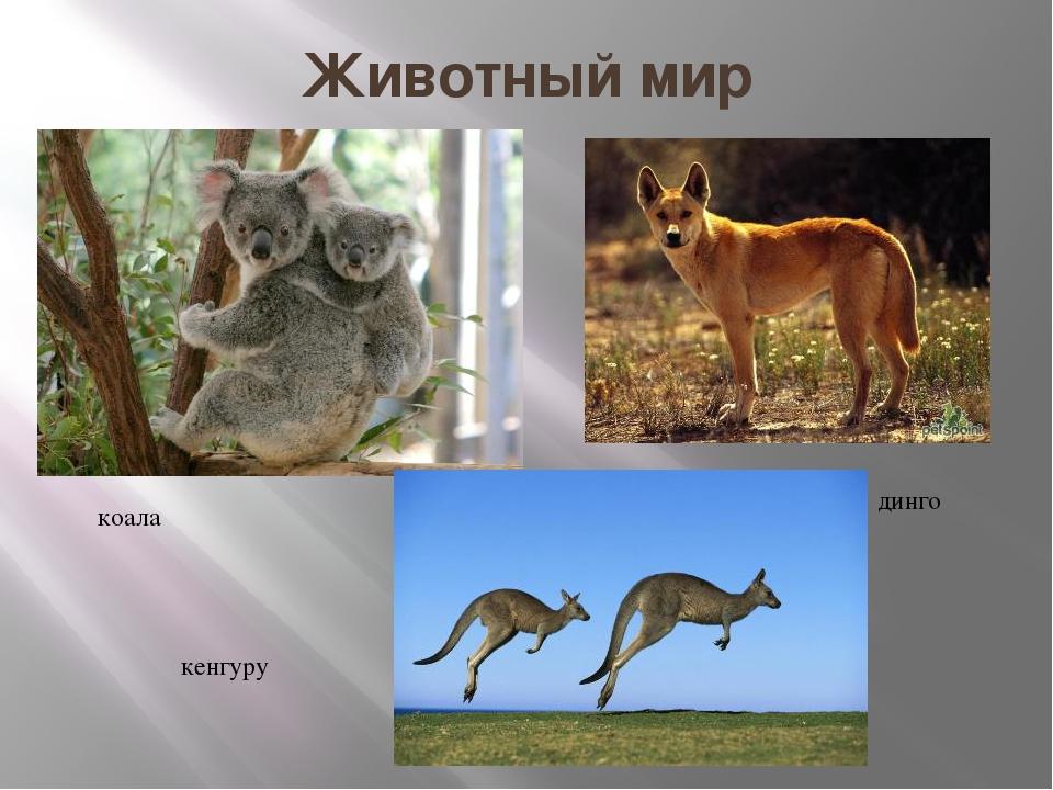 Животный мир коала динго кенгуру